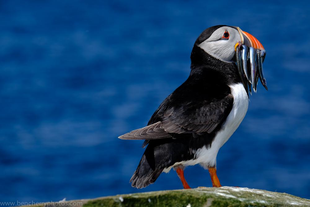 A beak full!