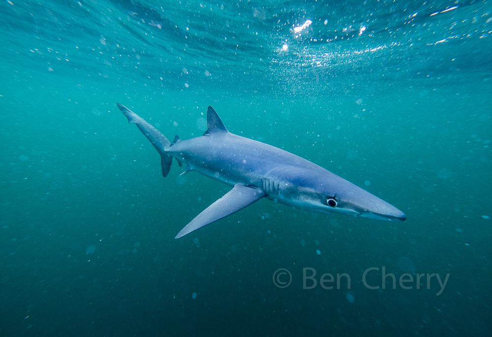 Blue Shark trip-8