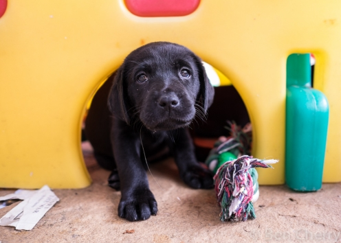 Labrador puppies-11