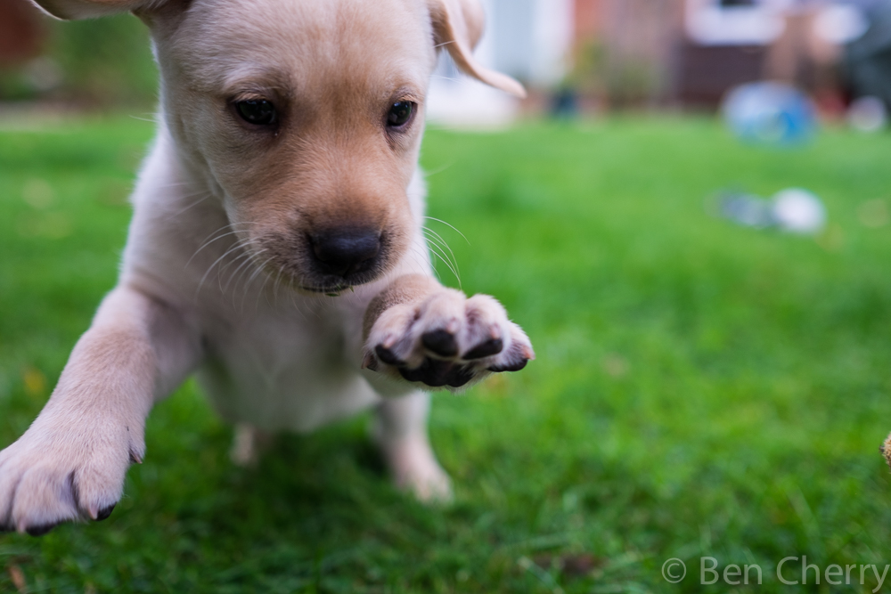 Labrador puppies-17