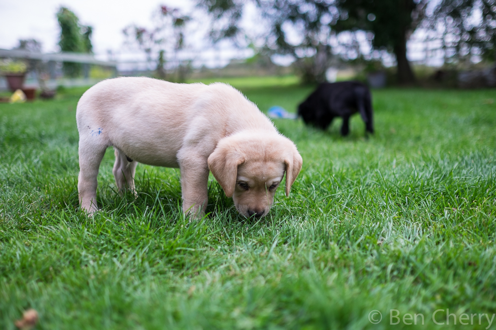 Labrador puppies-18
