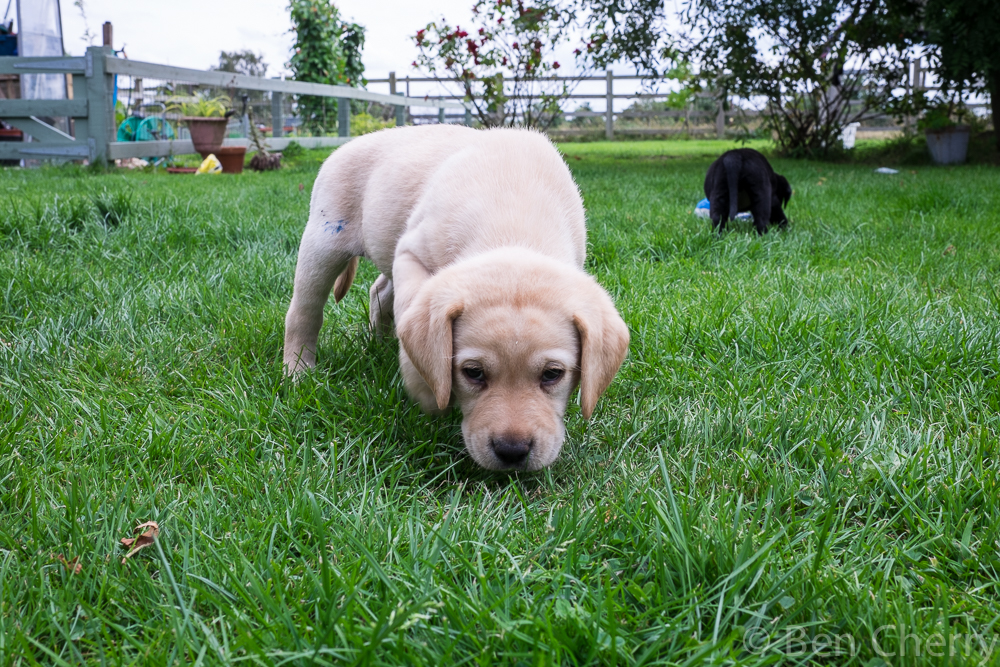 Labrador puppies-20
