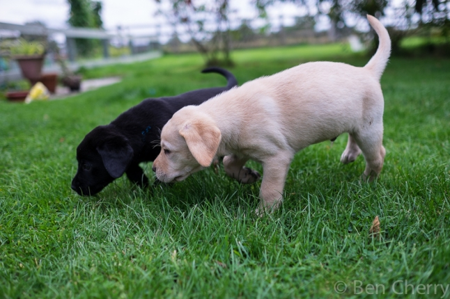 Labrador puppies-23