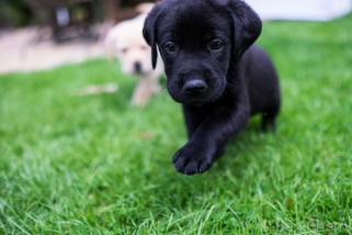 Labrador puppies-24