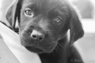 Labrador puppies-27