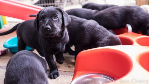 Labrador puppies-4