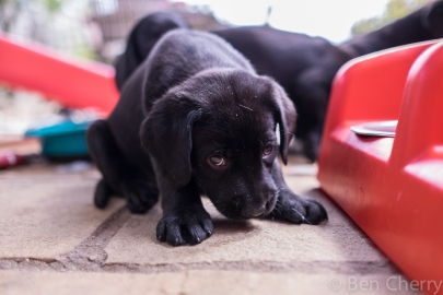 Labrador puppies-6