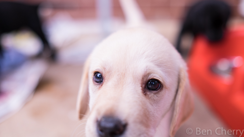 Labrador puppies-8
