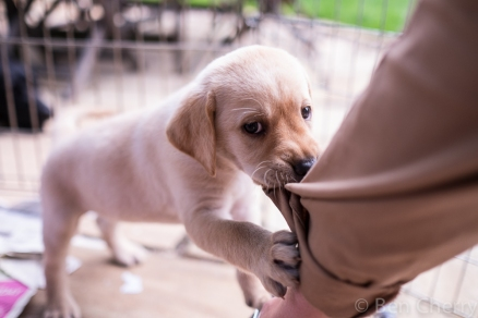Labrador puppies-9