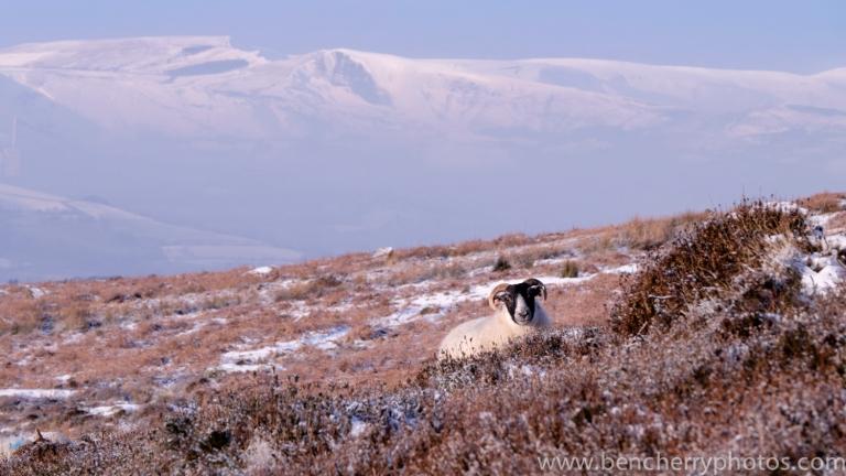 Higgar Tor sheep-11