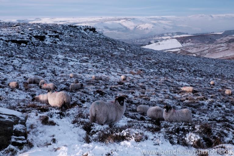 Higgar Tor sheep-13