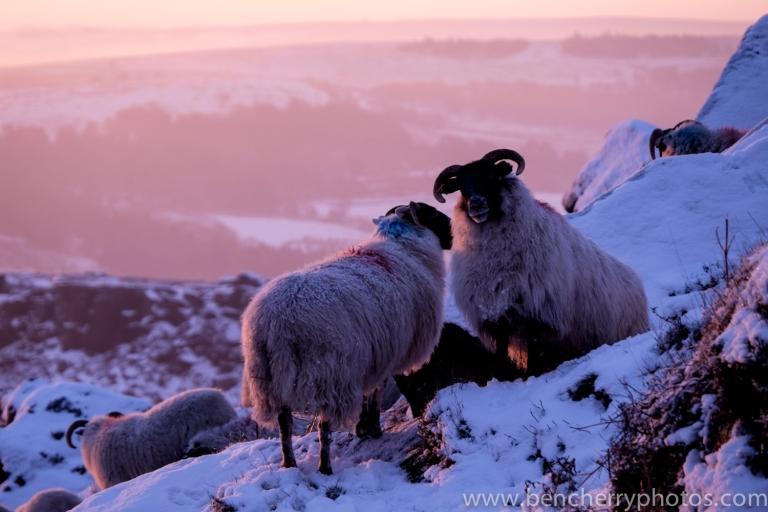 Higgar Tor sheep-2