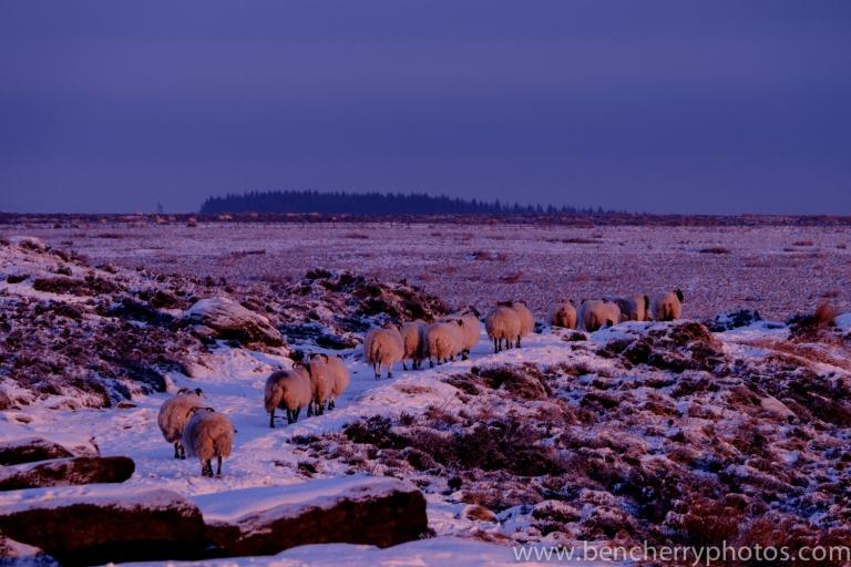 Higgar Tor sheep