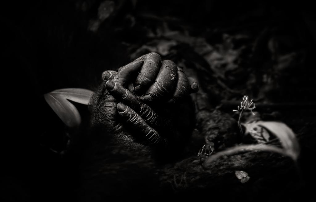 chimpanzee-clasp-hands
