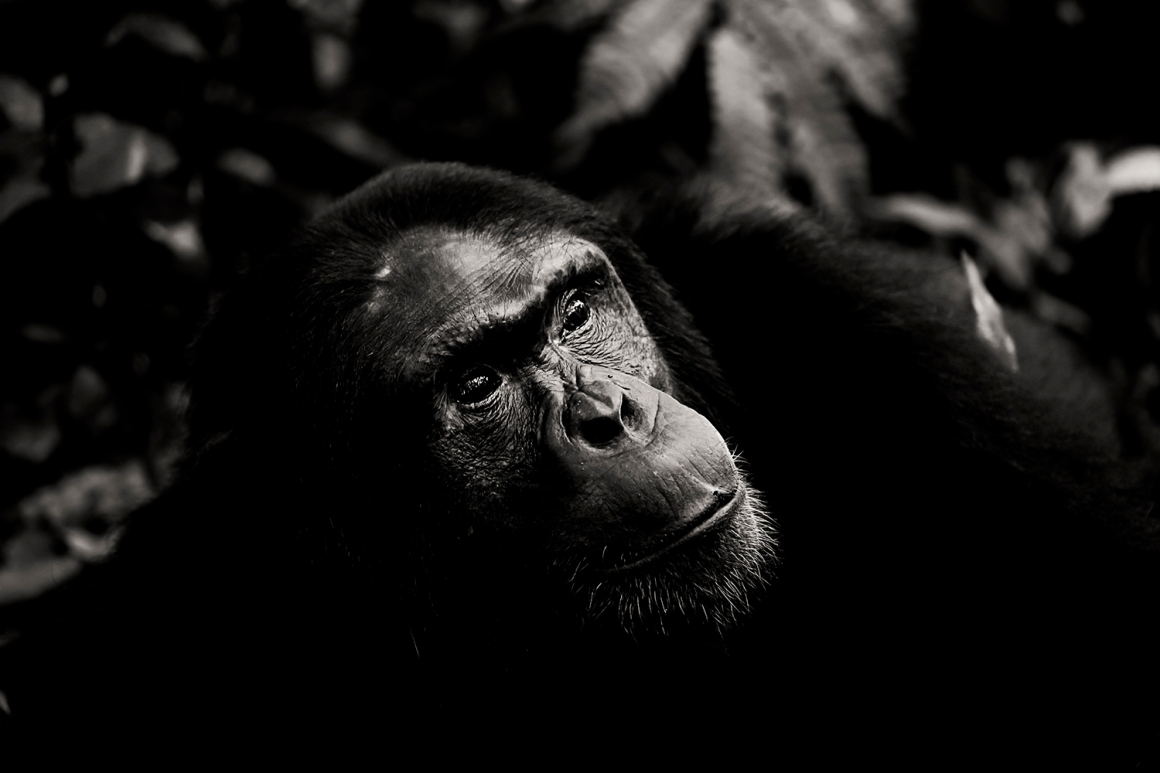 chimpanzee-wild-rainforest-11