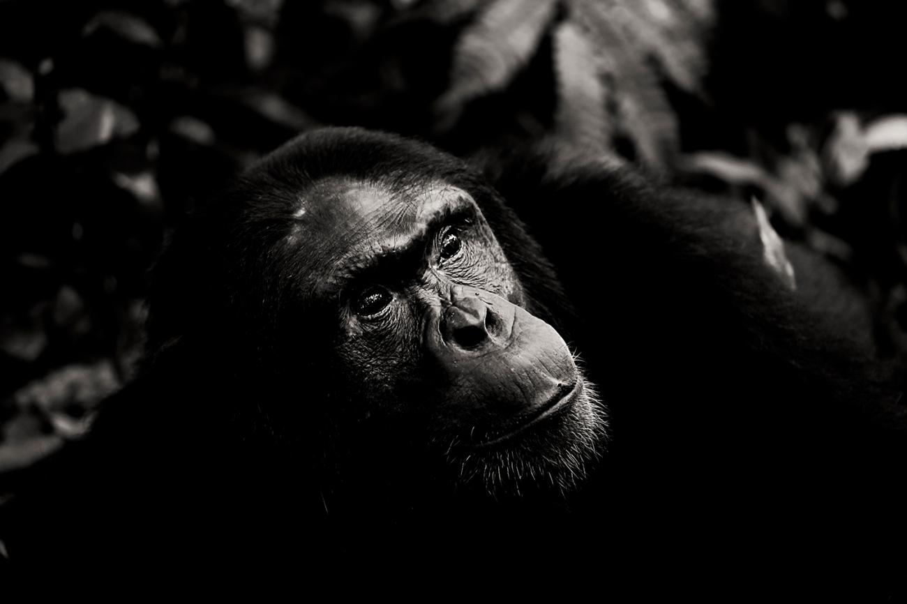 chimpanzee-wild-rainforest-11