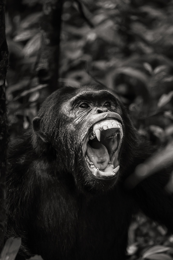 chimpanzee-wild-rainforest-5