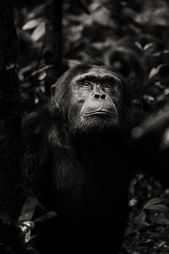 chimpanzee-wild-rainforest-6