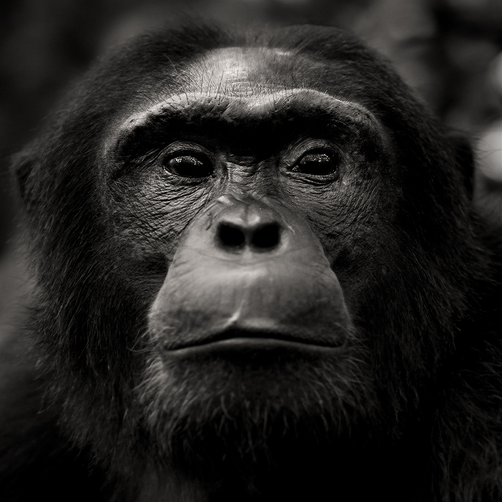 chimpanzee-wild-rainforest-7