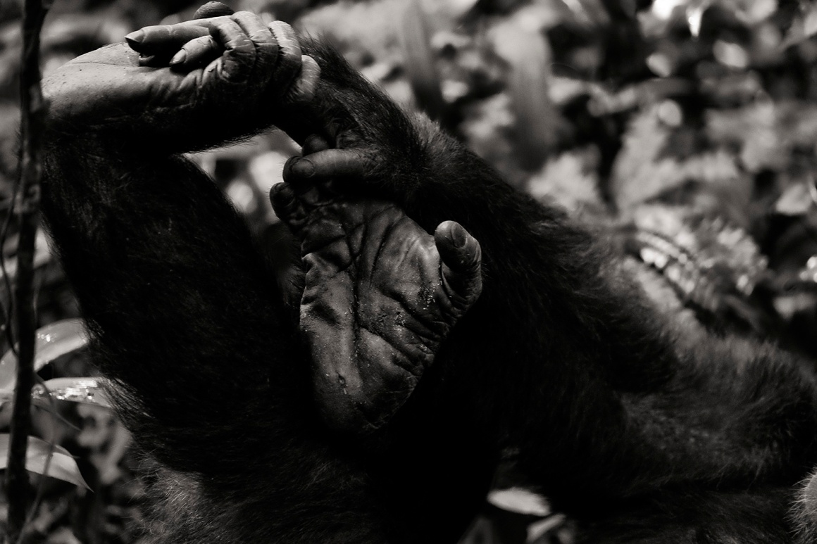 chimpanzee-wild-rainforest-9