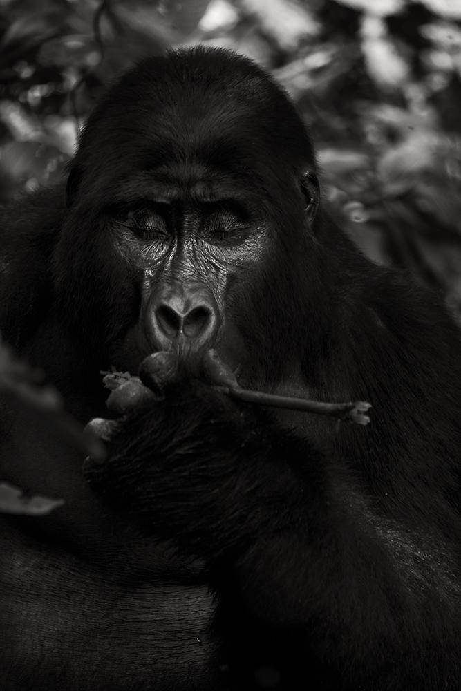 mountain-gorilla-rainforest-2