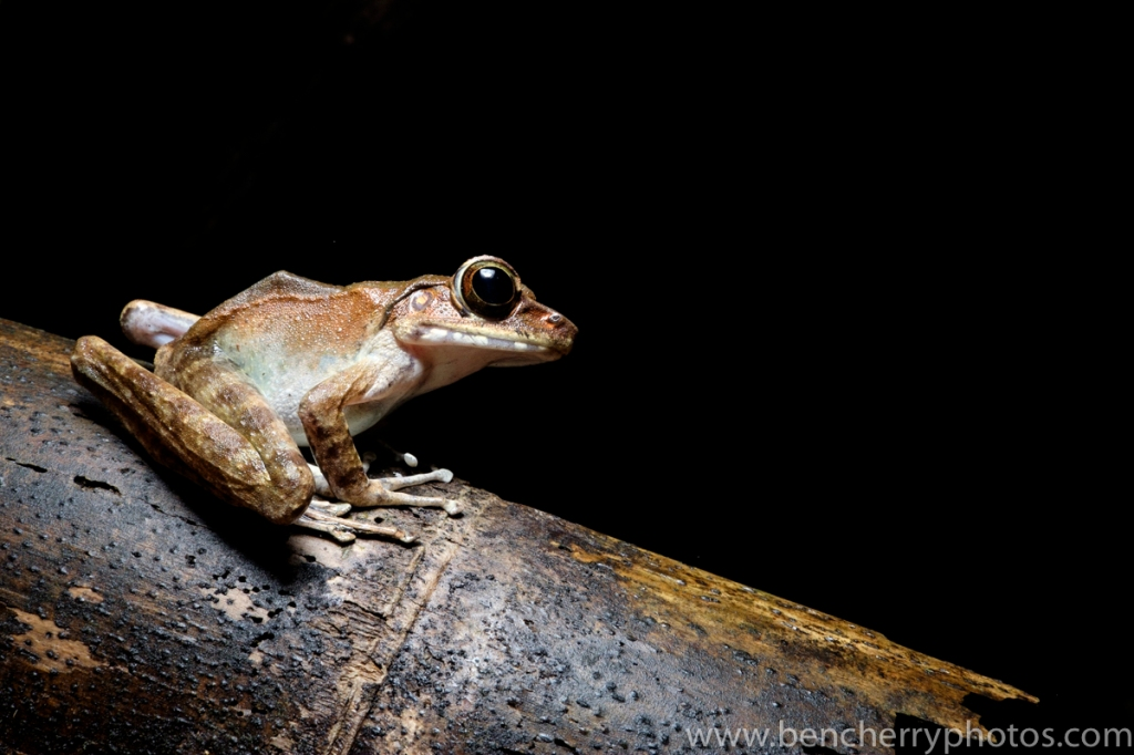 A frog from Borneo