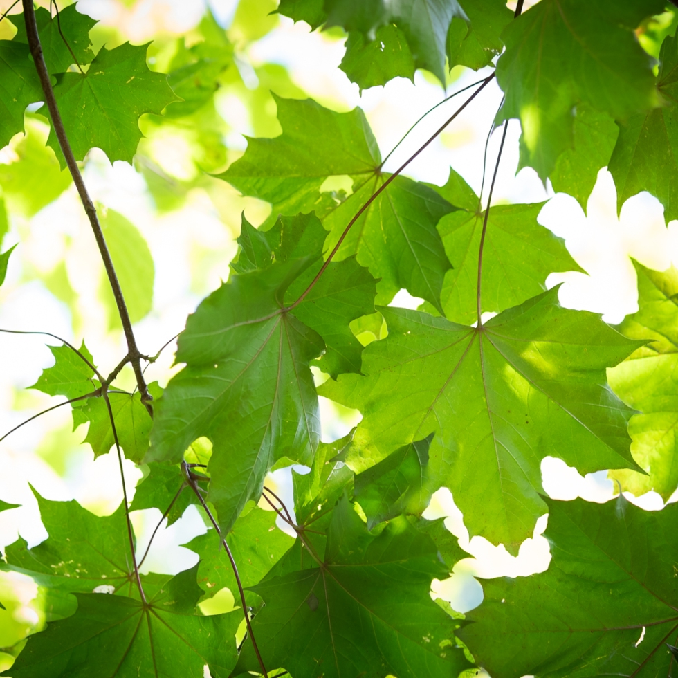 Maple leaves (1). 1/75sec at f/2.8. ISO 200