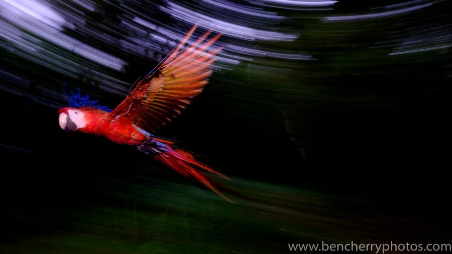Flying Macaw-13