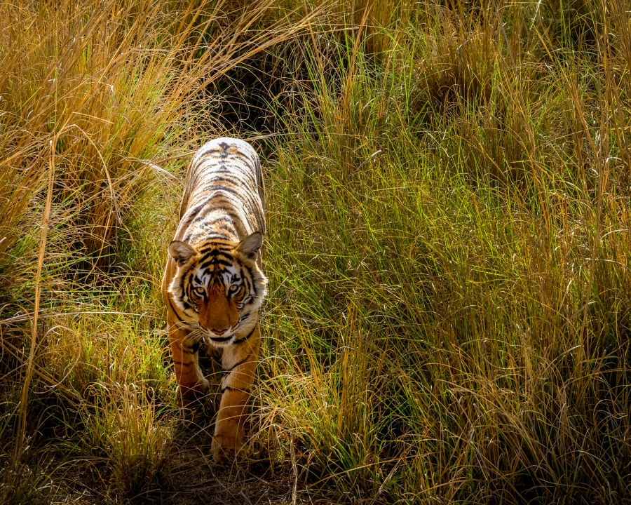 """A tiger emerging from the grass at Ranthambore National Park, Sawai Madhopur, India. The reserve was the private hunting reserve of the Jaipur Royal Family until 1955. The reserve is thought to have 43 adult tigers and 14 cubs although it is difficult to be certain as it is an """"open"""" reserve which forms part of a larger """"tiger corridor"""" in the region."""