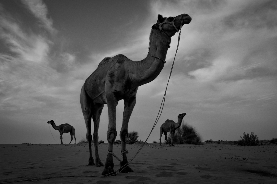 Three Camels at dusk in the Thar Desert, Jaisalmer District, India. The desert, also known as The Great Indian Desert is the worlds 17th largest Desert. It was here where we had the encounter with the snake.