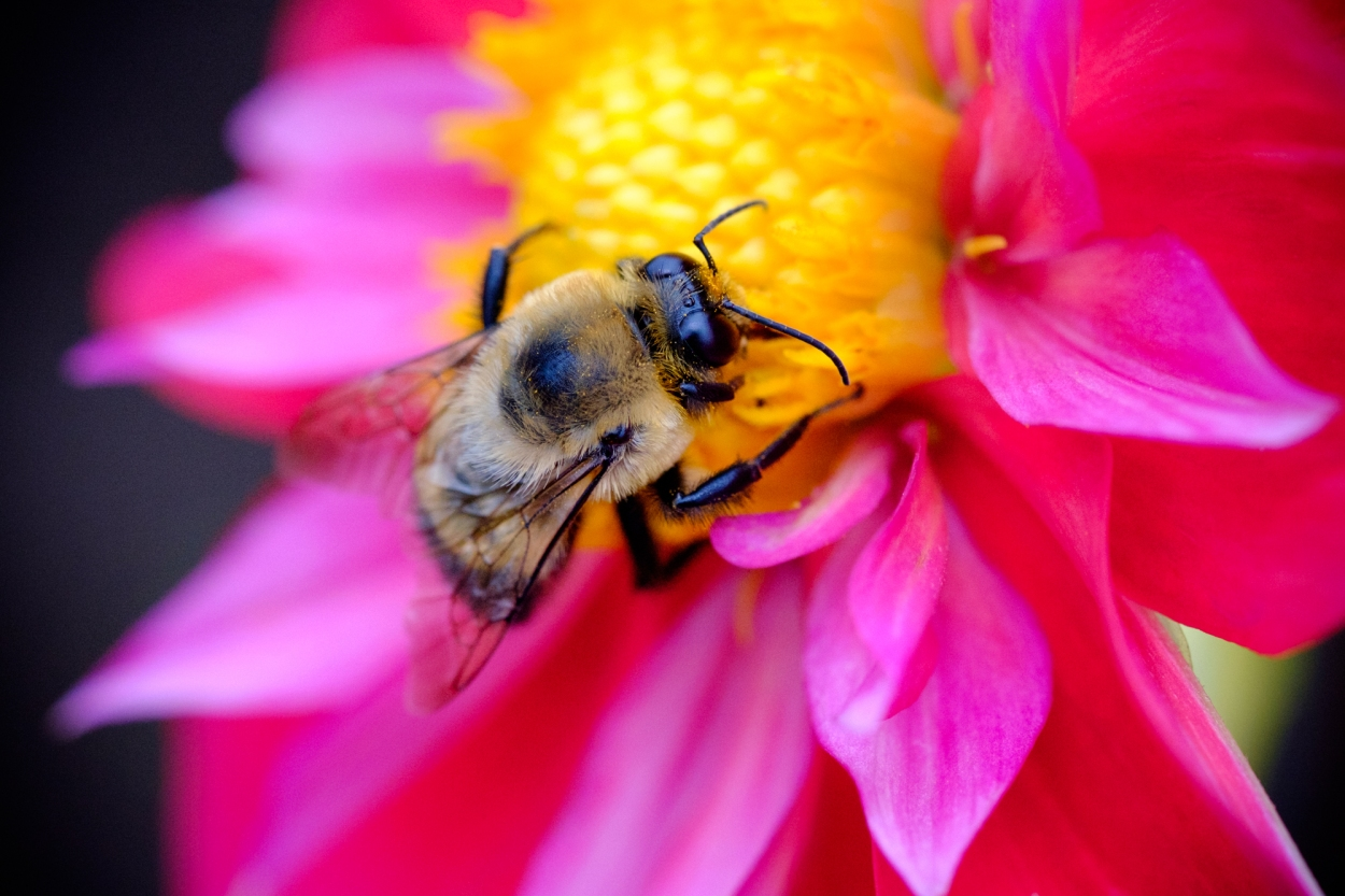 A bumblebee on a dahlia flower in Canby, Oregon.